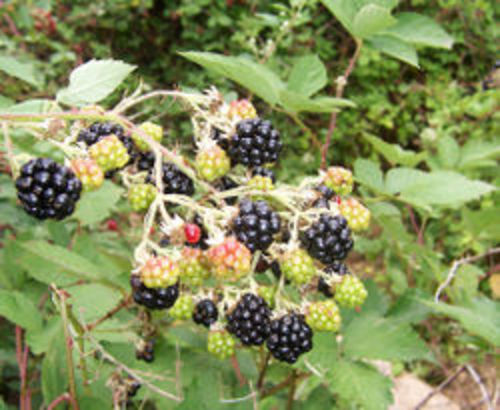 250pxblackberry_fruits10