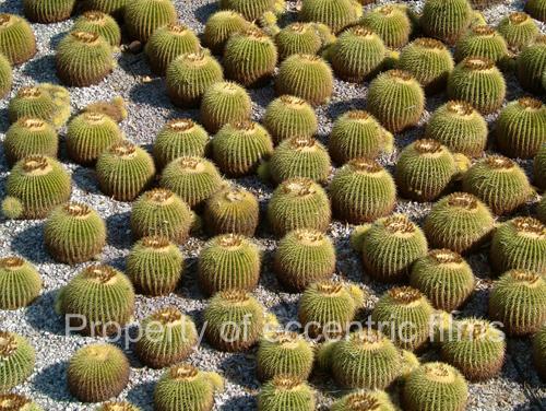 Cucactus